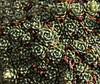 Rosettes of Saxifraga kotschyi, 2133m near Sipikor Gecidi 2390m N.E. of Erzincan [7]