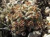 Androsace villosa, Ziyaret Gecidi 1900m [3] (Gurün-Pinarbasi)