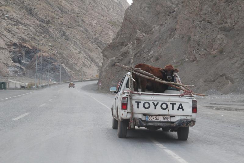 Cattle transport, Hakkari, S.E. Turkey