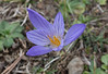 Crocus speciosus ssp. ilgazensis, near Akdag 1575m North of Amasya