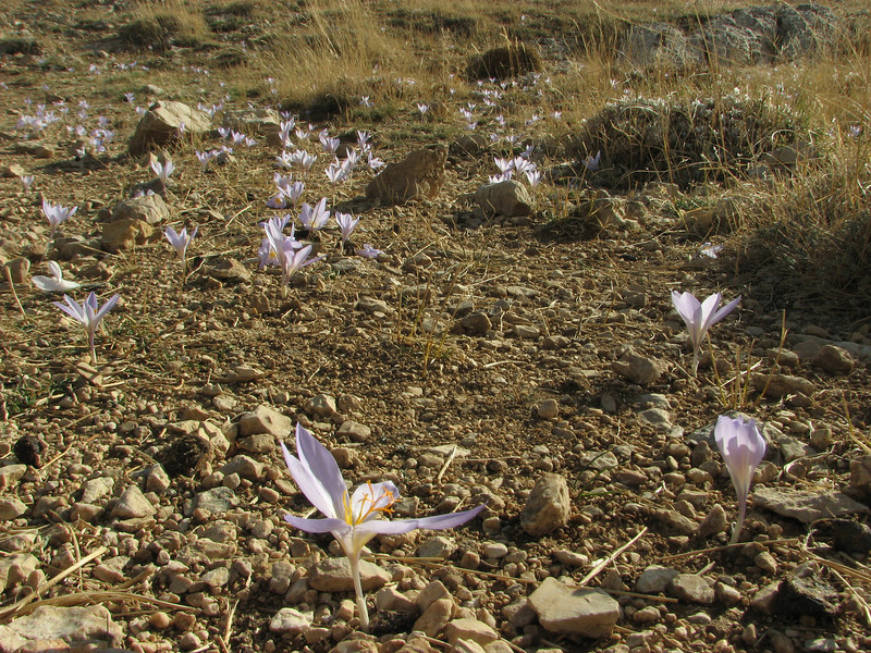 Crocus cancellatus ssp. damascenus, Bögrüdelik Gecidi 1800m (Gürün-Ulas)[3]