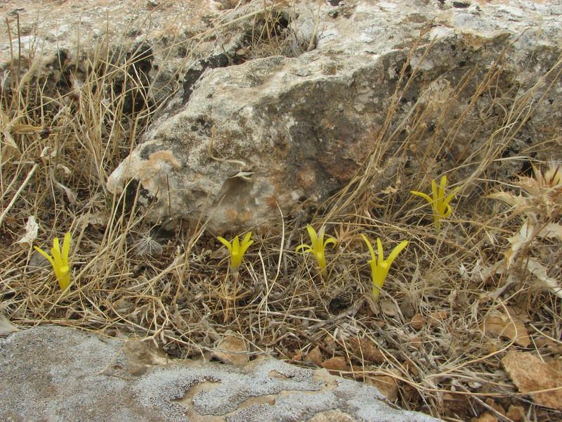 Habitat of Sternbergia colchiciflora, 13km South of Sanliurfu (Sanliurfu-Harran), 483m, on limestone-derived red clay [13]