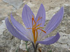Crocus cancellatus ssp. damascenus, 13km South of Sanliurfu (Sanliurfu-Harran), 483m, on limestone-derived red clay [13]