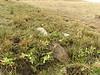 Primula auriculata, South of Erzurum