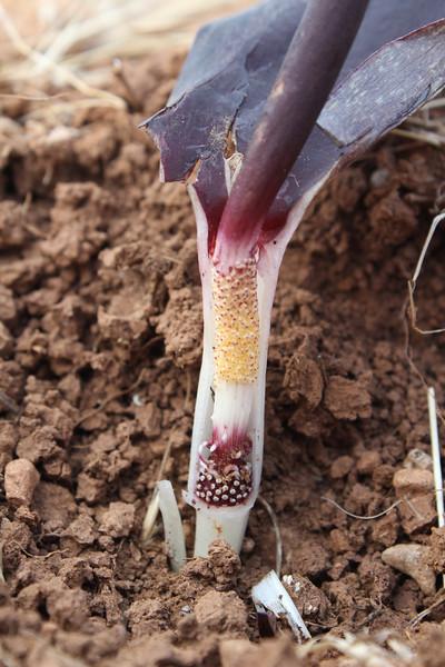 Flower of Biarum carduchorum, 50km East of Sanli-urfu, 550m on limestone-derived red clay [12]