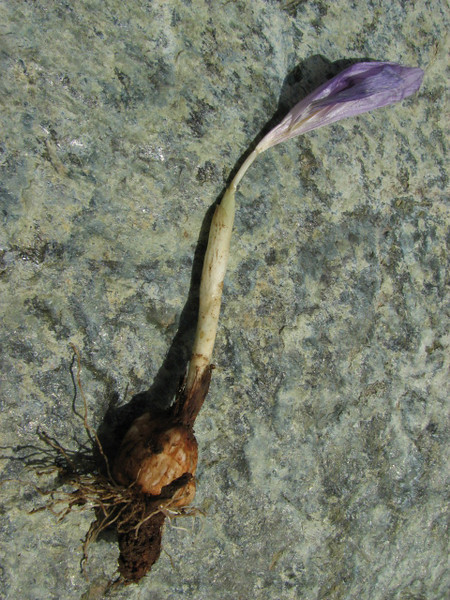 Bulb of Crocus kotschyanus ssp. suworianus,(dark form), Yeniköy 2400m before Sakaltutan Gecidi [5]  (bulb only for determination purposes)
