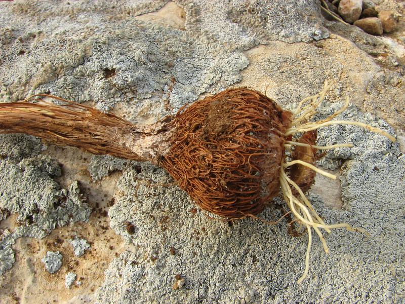 Crocus cancellatus ssp. damascenus, alt. 550m, limestone, 50km East of Sanli-urfu [12]  (bulb only for determination purposes)