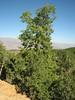 Quercus libani, Arsameia - Kubbe Gecidi 1880m