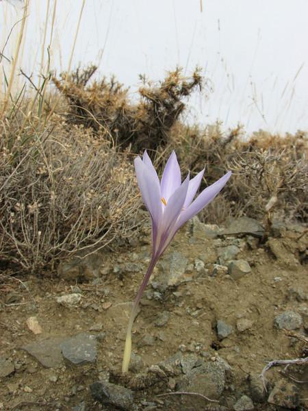 Crocus cancellatus ssp. damascenus, 5km North of Erzincan, South hill 1900m [6]
