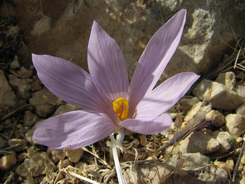 Crocus cancellatus ssp. damascenus, Bögrüdelik Gecidi 1800m (Gürün-Ulas) [3]