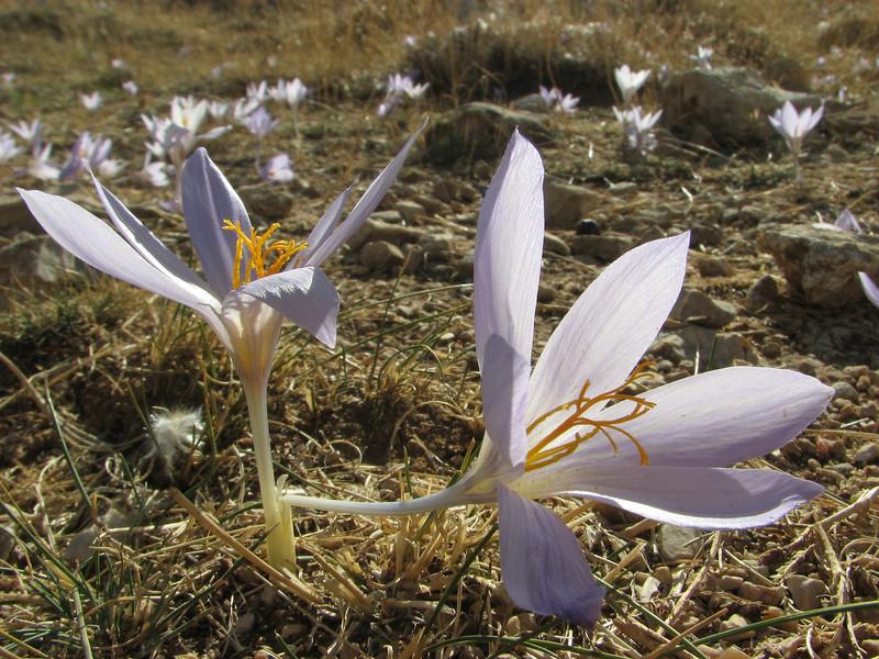Habitat of Crocus cancellatus ssp. damascenus, Bögrüdelik Gecidi 1800m (Gürün-Ulas)[3]