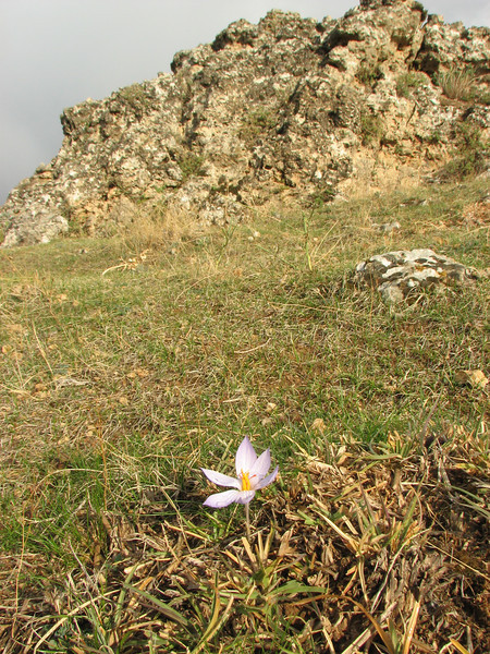 Habitat of Crocus cancellatus ssp. damascenus, 5km  N.E. of Mazidagi [10]