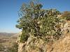 Quercus brantii, Arsameia