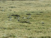 Alectoris chukar, Stone Partridge (NL: Aziatische steenpatrijs)near Village Yeniköy, South of Askale (Askale- Ciftlik) West Palendoken mountains