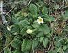 Primula cf. vulgaris, Akdag, North of Amasya (Amasya-Koyulhisar) [4]