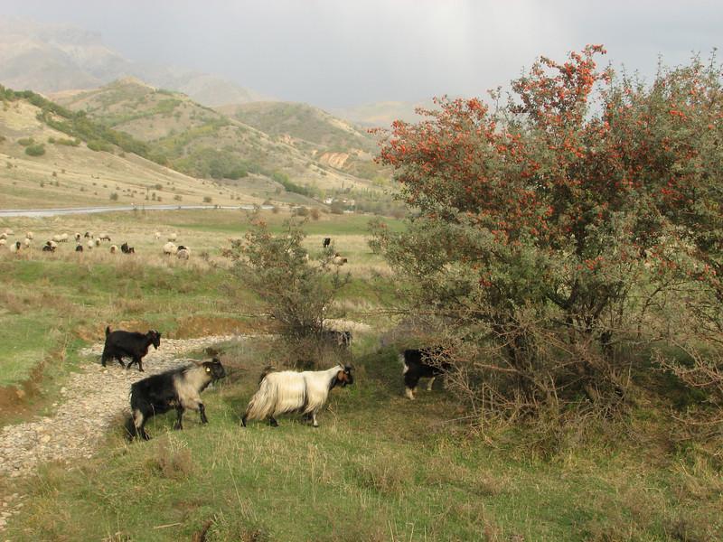 Crataegus orientalis ?, Hizan, East of Bitlis