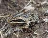 Rana macrocnemis, Long-Legged Wood Frog, 15km S.E. of Yüksekova (Hakkari-Yüksekova-Semdinli) [15]