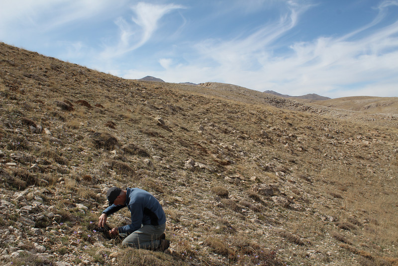 Photographing Crocus kotschyanus ssp. cappadocicus, Ziyaret Gecidi 1900m [3] (Gurün-Pinarbasi)