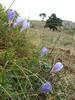 Crocus speciosus ssp. ilgazensis, Akdag, North of Amasya (Amasya-Koyulhisar) [4]