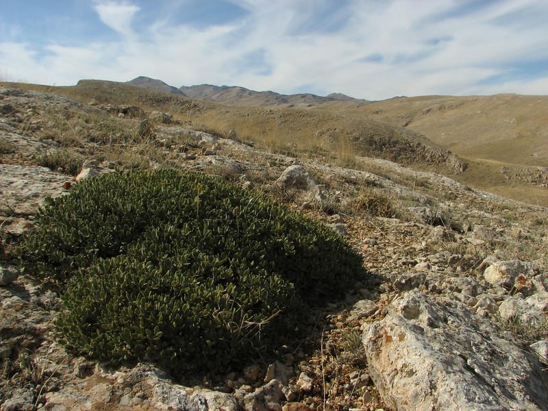 Daphne oleoides, Ziyaret Gecidi 1900m [3] (Gurün-Pinarbasi)