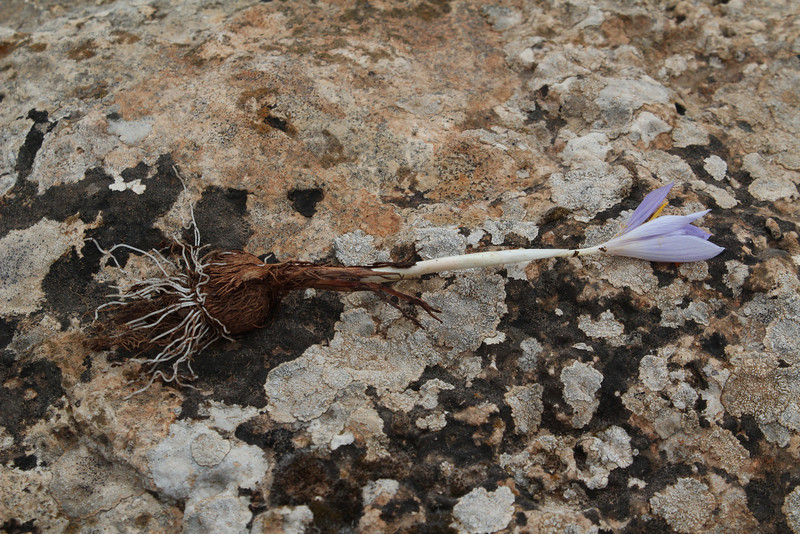 Crocus cancellatus ssp. damascenus, 13km South of Sanliurfu (Sanliurfu-Harran), 483m, on limestone-derived red clay [13]   (bulb only for determination purposes)
