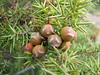 Juniperus oxycedrus, Akdag, North of Amasya (Amasya-Koyulhisar) [4]