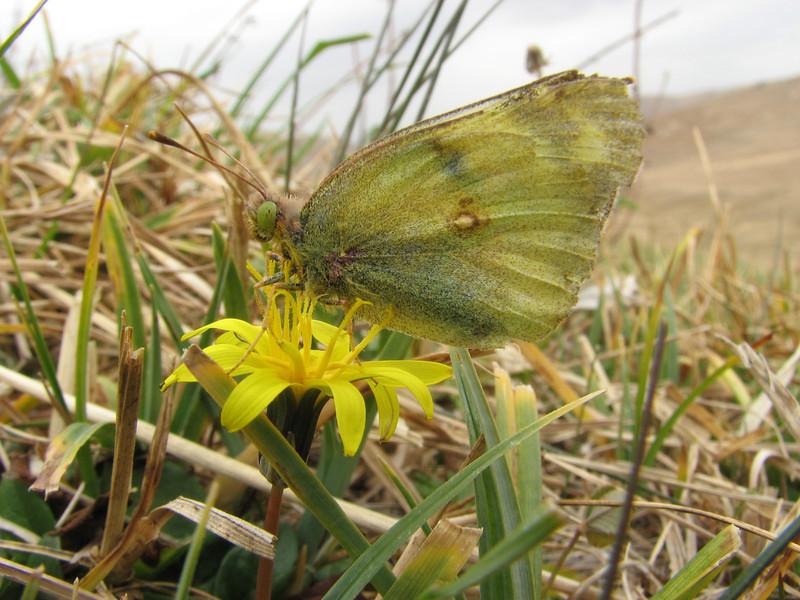 Colias spec. on Crepis spec, (NL: gele luzernevlinder) South of Erzurum