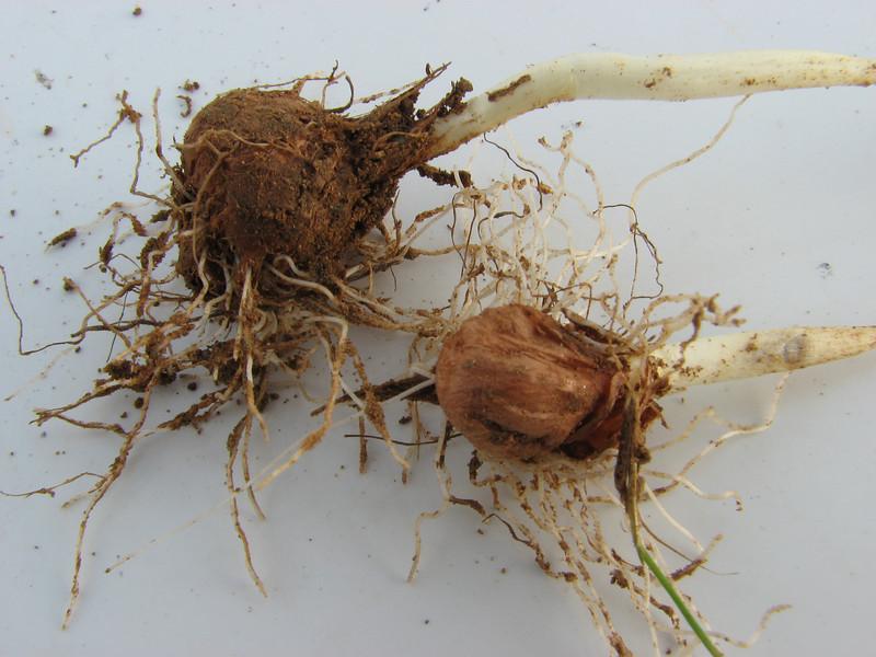 Bulb of Crocus karduchorum, Ihtiyarsahap Daglari, Bitlis-Hizan [8] (bulb only for determination purposes)