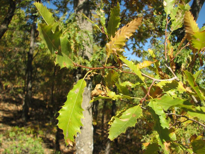 Leafs of Quercus libani, Arsameia - Kubbe Gecidi 1880m