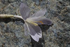 Bulb of Crocus kotschyanus ssp. suworianus, Yeniköy 2400m before Sakaltutan Gecidi [5]  (bulb only for determination purposes)