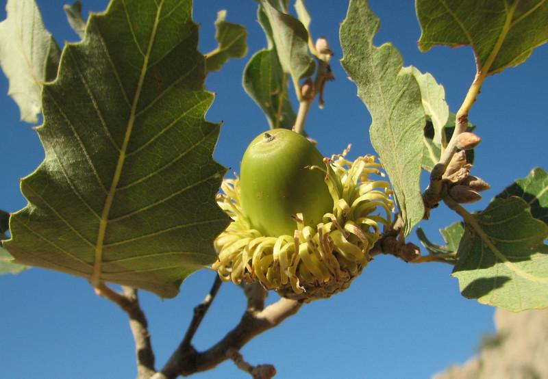 Acorn of Quercus brantii, Arsameia