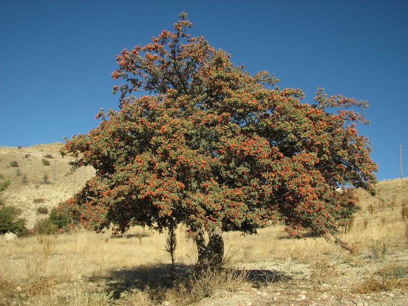 Crataegus spec. Karadag,  near Karahan Gecidi 1800m,  Malatya-Kepez