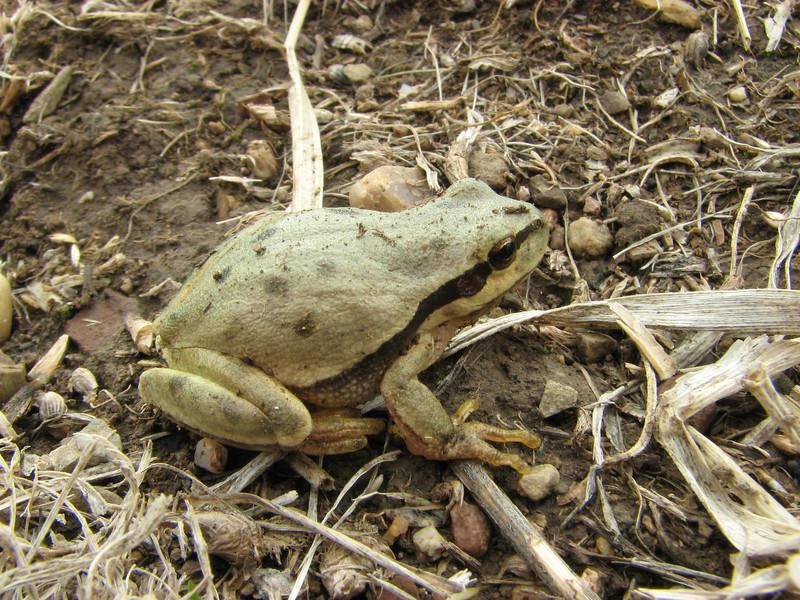 Hyla savignyi, Yellow-lemon tree frog, (NL: Turkse boomkikker), 15km S.E. of Yüksekova (Hakkari-Yüksekova-Semdinli) [15]