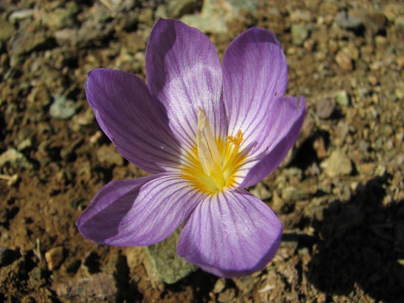 Crocus kotschyanus ssp. kotschyanus   (Tepehan-Malatya) 3km before Kubbe Gecidi 1880m [1b]