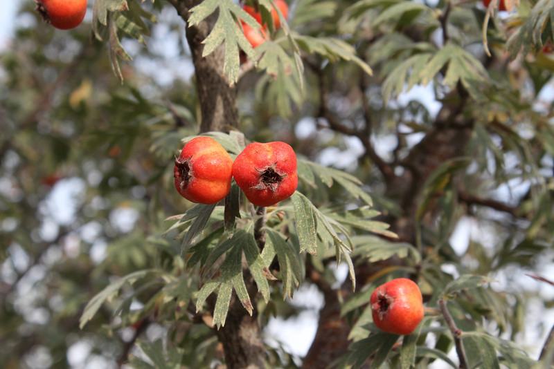 Crataegus orientalis ? Hizan, East of Bitlis
