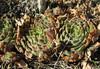 Sempervivum brevipilum.  Ziyaret Gecidi 1900m [3] (Gurün-Pinarbasi)
