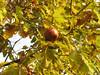 Oak apple, diam=60mm  (gall)  Ihtiyarsahap Daglari, Bitlis-Hizan [8]