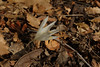 "Crocus kotschyanus ssp. hakkariensis forma ""Alba"", alt. 1680m, area of Sapatan Gecidi 1900m, 2km before Durak, near Semdinli [17]"