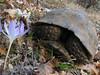 Testudo graeca, (NL: Moorse landschildpad) and Crocus karduchorum, Ihtiyarsahap Daglari, Bitlis-Hizan [8]