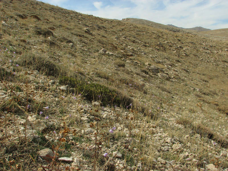 Habitat of Daphne oleoides, Ziyaret Gecidi 1900m [3] (Gurün-Pinarbasi)