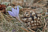 Pinecone of Pinus sylvestris and Crocus speciosus ssp. ilgazensis, 1575m Akdag, North of Amasya (Amasya-Koyulhisar) [4]