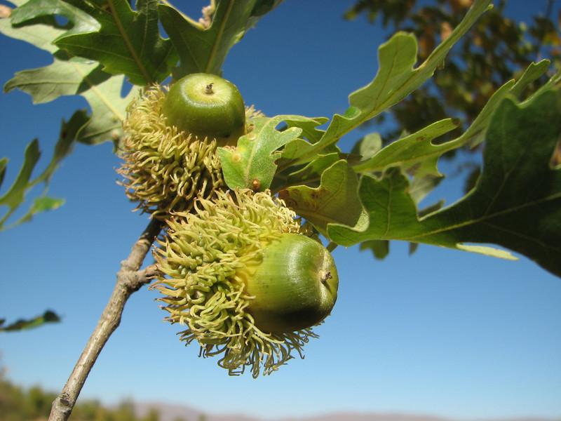 Acorn of Quercus cerris ssp. cerris, Arsameia - Kubbe Gecidi 1880m