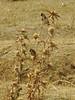 Carduelis carduelis, Goldfinch on thistles, (NL: putter) 15km S.E. of Yüksekova (Hakkari-Yüksekova-Semdinli) [15]