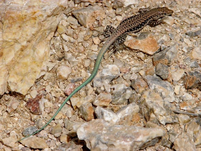 Apathya cappadocica, Lizard  identification by Dr. Konrad Mebert, Switzerland and Dr. Bayram Göcmen, Turkey, Bögrüdelik Gecidi 1800m (Gürün-Ulas)