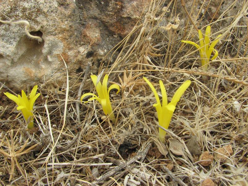 Sternbergia colchiciflora, 13km South of Sanliurfu (Sanliurfu-Harran), 483m, on limestone-derived red clay [13]