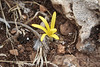 Sternbergia colchiciflora, 13km South of Sanliurfu (Sanliurfu-Harran), 483m, on limestone-derived red clay [13]