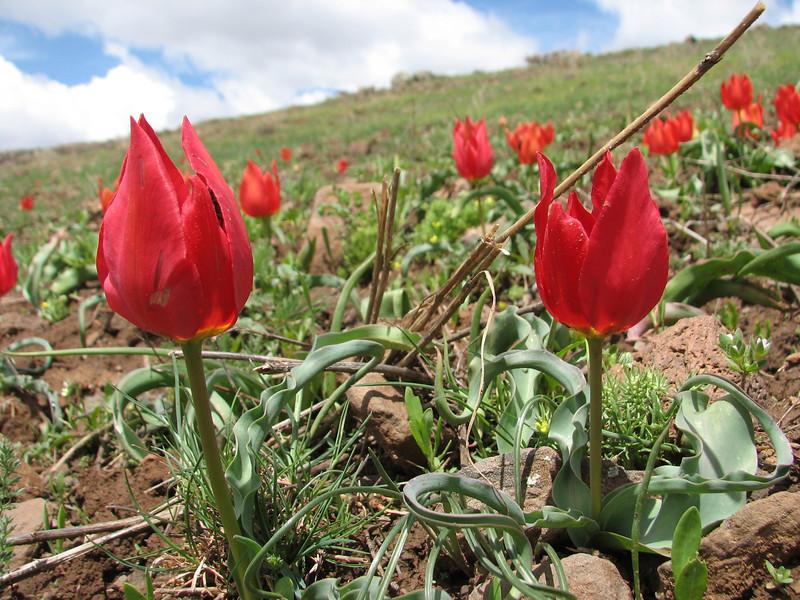 Tulipa julia, (Palendoken mountains)
