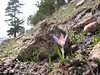 Crocus biflorus ssp. taurii or Crocus biflorus ssp. adamii - if corm tunics are coriaceous it is adamii, if membranous it is taurii. Both have few and comparatively wide leaves (Çamlıbel Geçidi)
