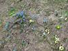 Primula vulgaris, Trollius ranunculines, Scilla sibirica ssp. armena,