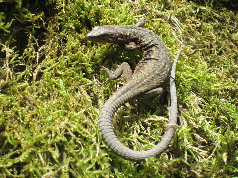Darevskia parvula, identification lizard by Dr. Konrad Mebert, Switzerland and Dr. Bayram Göcmen, Turkey,  (between Arhavi and Murgul)